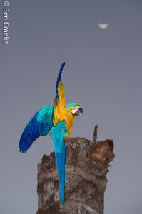 1 Blue and Yellow Macaw-1